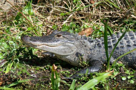 alligator swamp