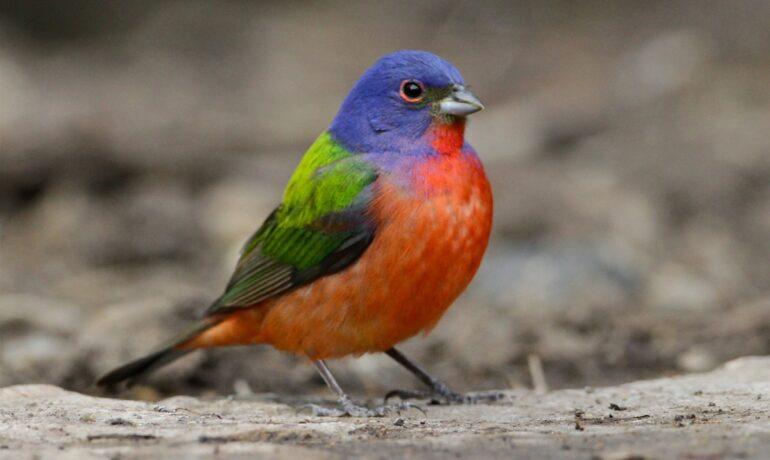 painted bunting birding