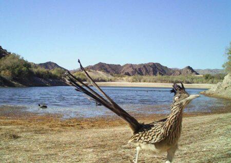 roadrunner birding